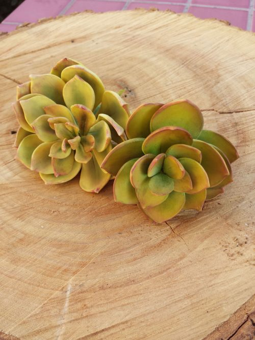 Simply Succulents by Shaile Socher